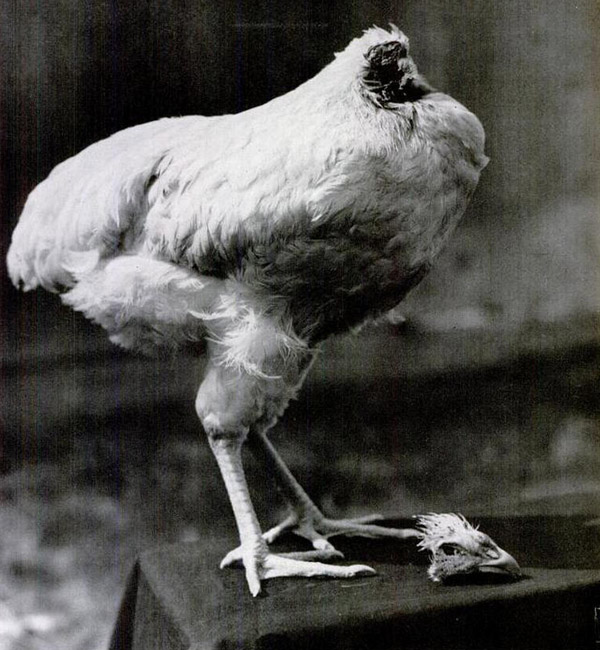 """Miracle"" Mike the headless chicken lived 18 months without his head"
