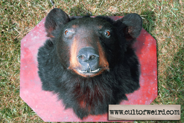 Antique vintage taxidermy black bear head