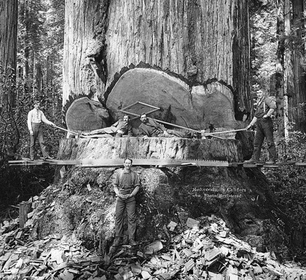 Lumberjacks chop down a giant Redwood tree in California c. 1900
