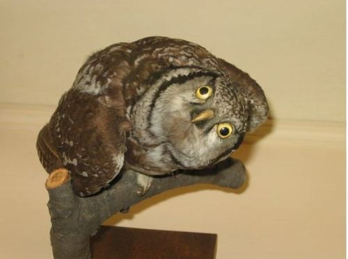 bad-taxidermy-owl