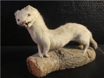 bad-taxidermy-weasel