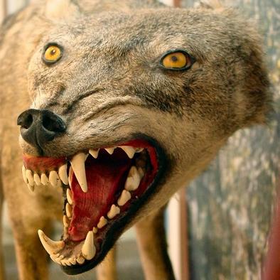 bad-taxidermy-wolf