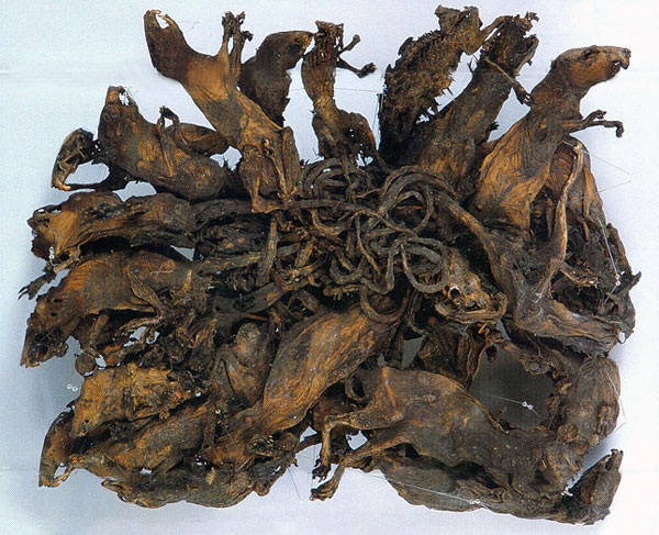 The largest known rat king on display in the scientific museum Mauritianum Altenburg, Germany