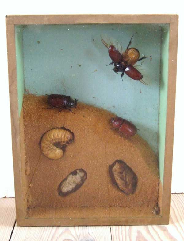 Life cycle of a beetle in this vintage shadow box made in Denmark in the 1920s