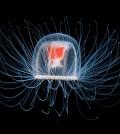 immortal-jellyfish