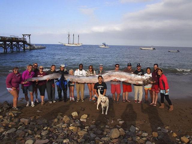 18-foot oarfish found