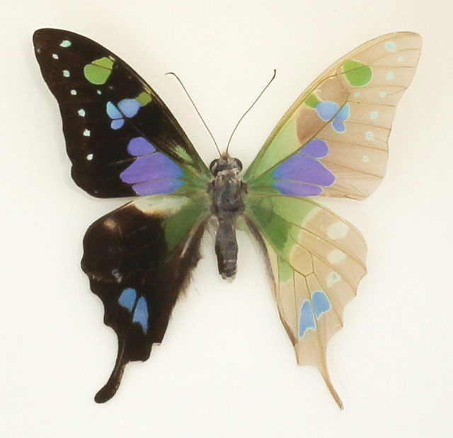 Skeletonized Graphium Weiskei butterfly by Kevin Clarke of Bug Under Glass