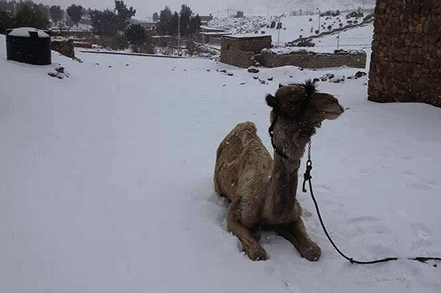 snow-egypt-camel