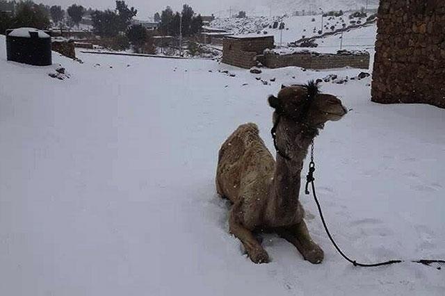snow-egypt-camel