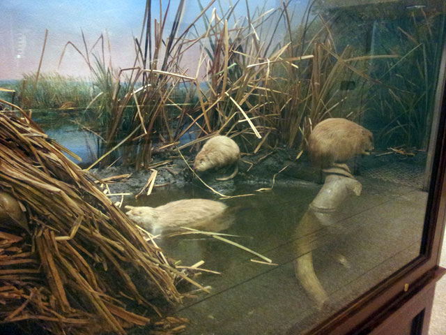 Muskrat taxidermy habitat diorama created by Carl Akeley at the Milwaukee Public Museum