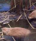 carl-akeley-muskrats-sm