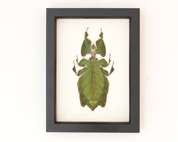 Preserved walking leaf insect display from Bug Under Glass