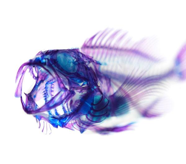 Diaphonized fish specimen