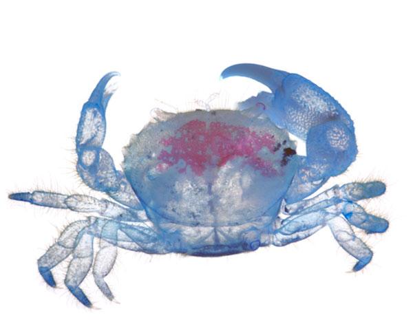 Diaphonized crab specimen