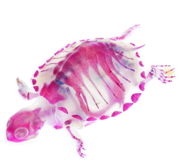 Diaphonized turtle specimen