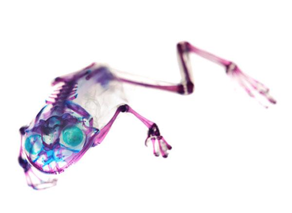 Diaphonized frog specimen