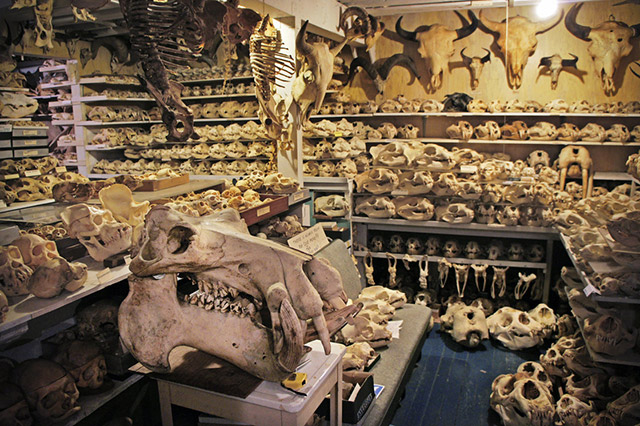 Randy Bandar's collection of 7,000 animal skulls fills his basement