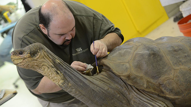 A taxidermist works on Lonesome George at the American Museum of Natural History