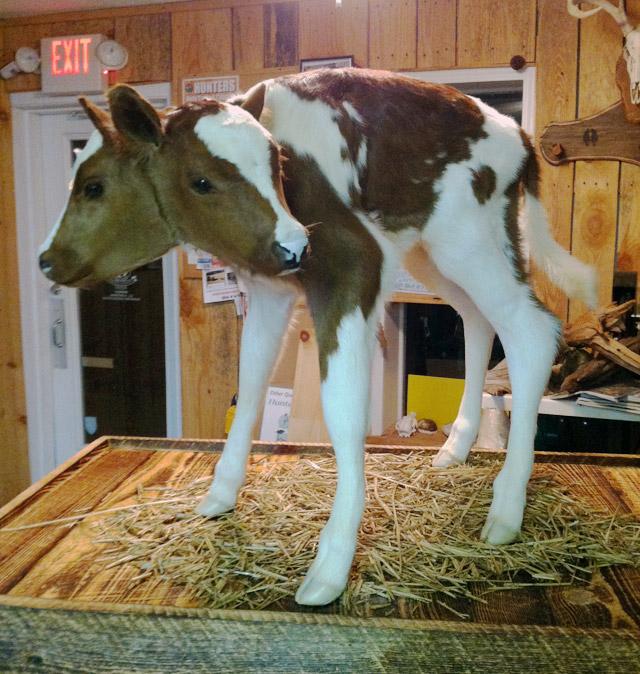 Two-headed calf taxidermy by Grover Bearden