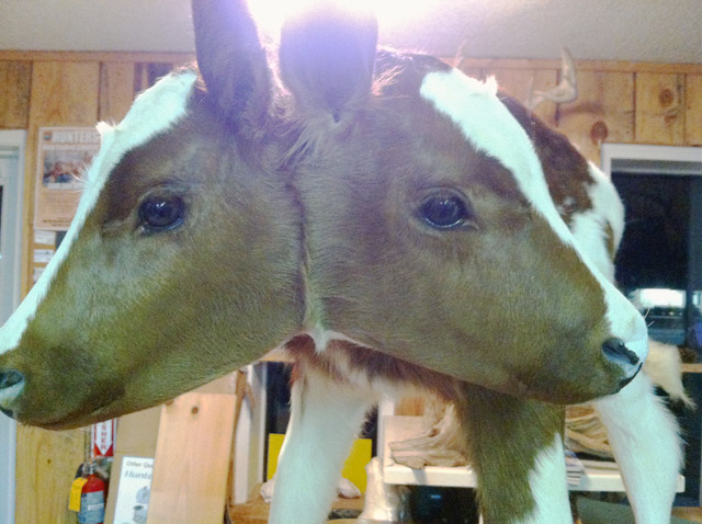 two-headed-calf-2