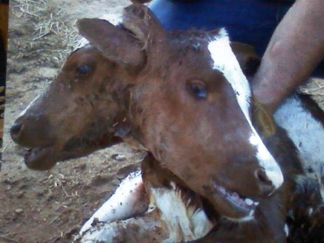 A photo of the two-headed calf on Anderson's farm shortly after birth