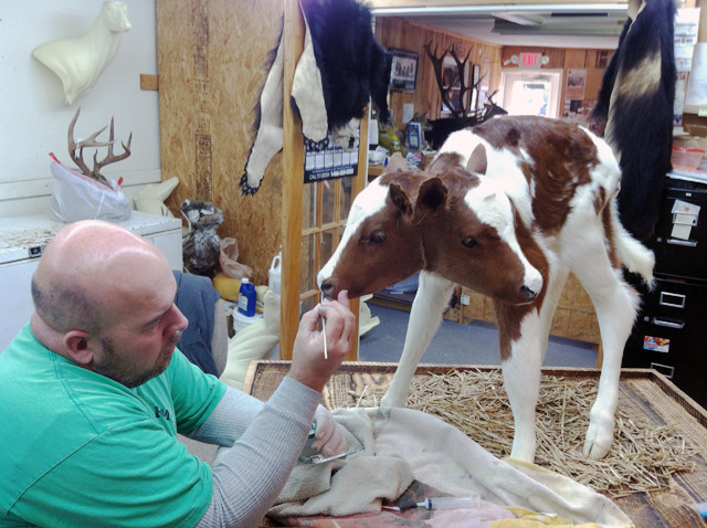 Grover Bearden working on the two-headed calf taxidermy