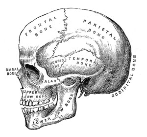 Victorian skull illustration
