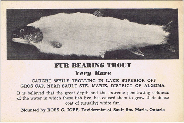 Vintage fur-bearing trout postcard
