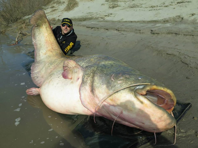 280-pound wels catfish caught in Italy