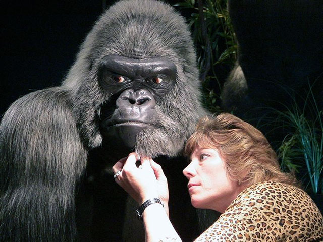 Milwaukee Public Museum taxidermist Wendy Christensen works on Samson the gorilla