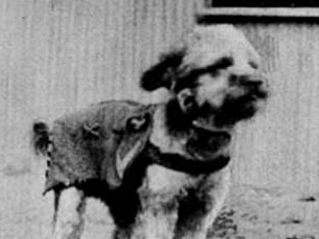 Goldberg, a dog who served as a mascot in WWI