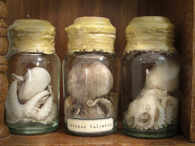 Preserved octopus in specimen jar
