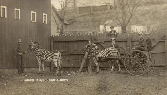 Ringling Bros rehearsing the zebra act in Baraboo, WI