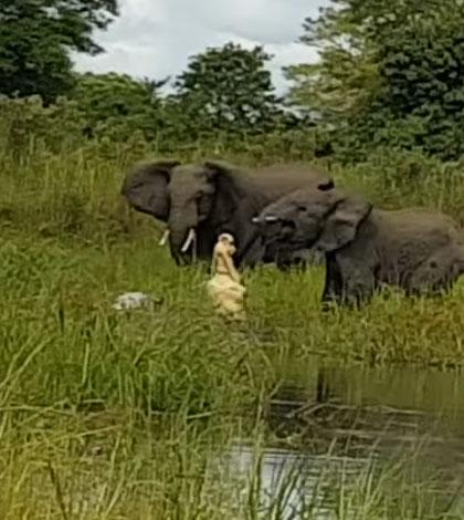 croc-attacks-elephant-sm