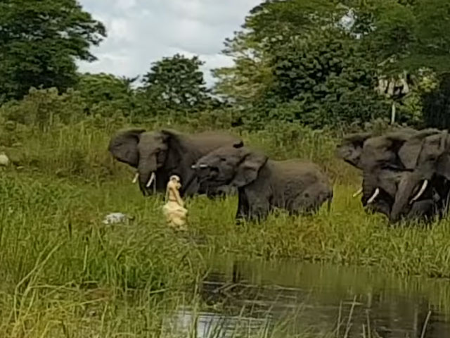 Video shows crocodile attacking elephant in the water