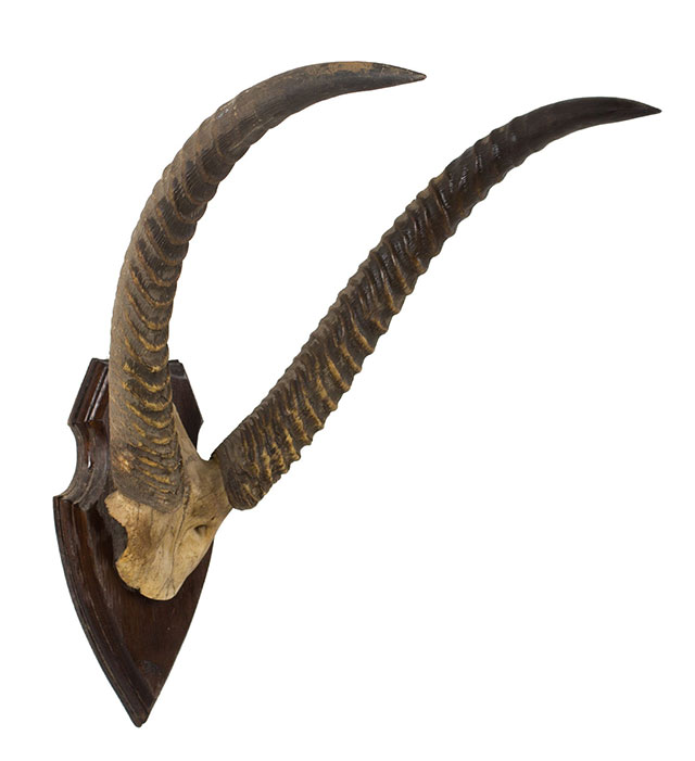 Antique waterbuck horns