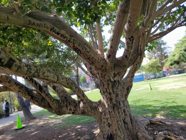 La Brea tar pits tree graffiti