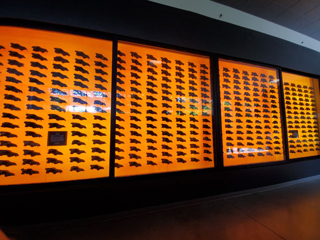 Dire wolf skulls on display at the La Brea Tar Pits Museum