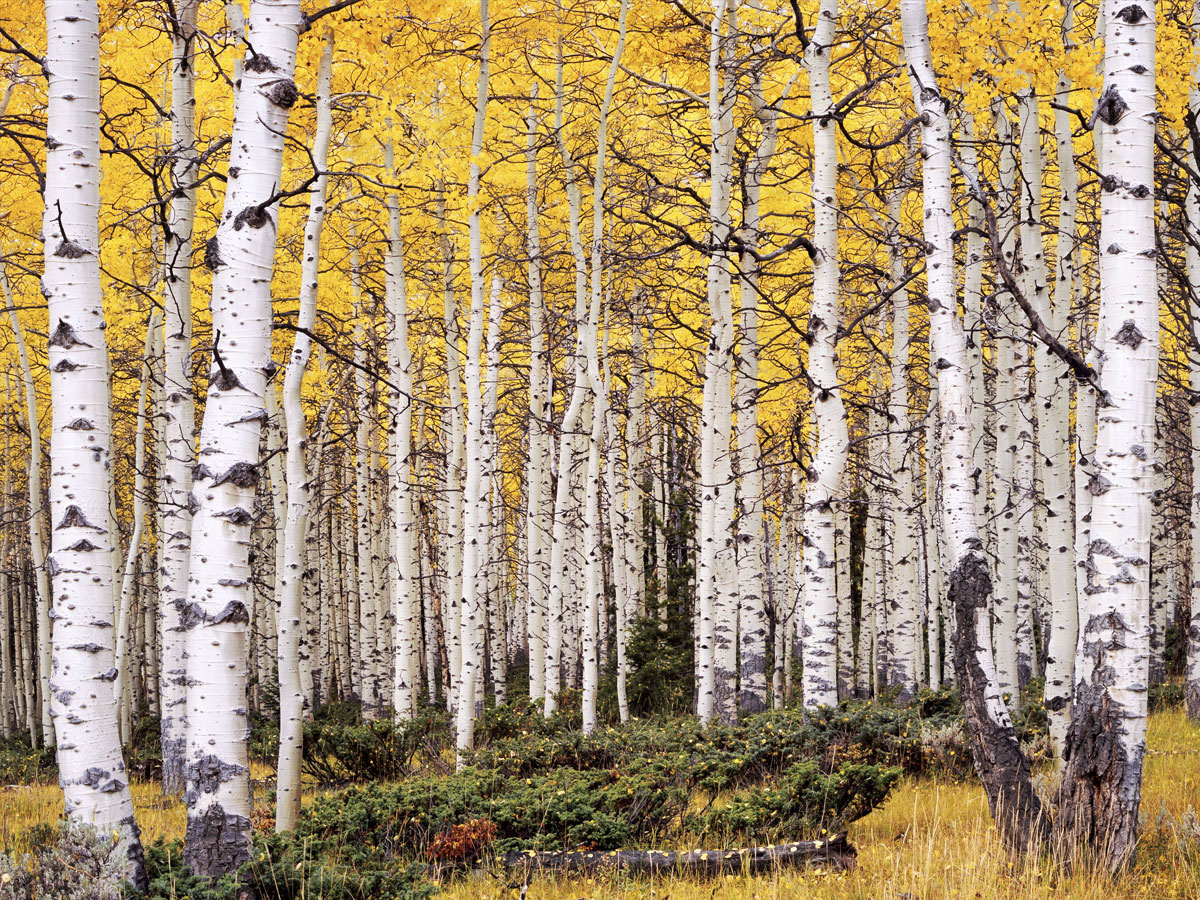 Pando, a grove of Quaking Aspen trees, is the largest organism in the world