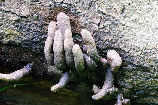 The Dead man's toes mushroom grows from a fallen tree