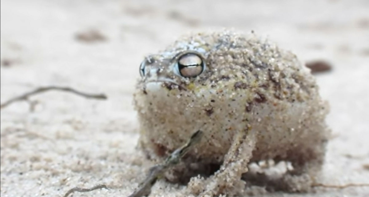 Enjoy the sounds of the squeaky desert rain frog